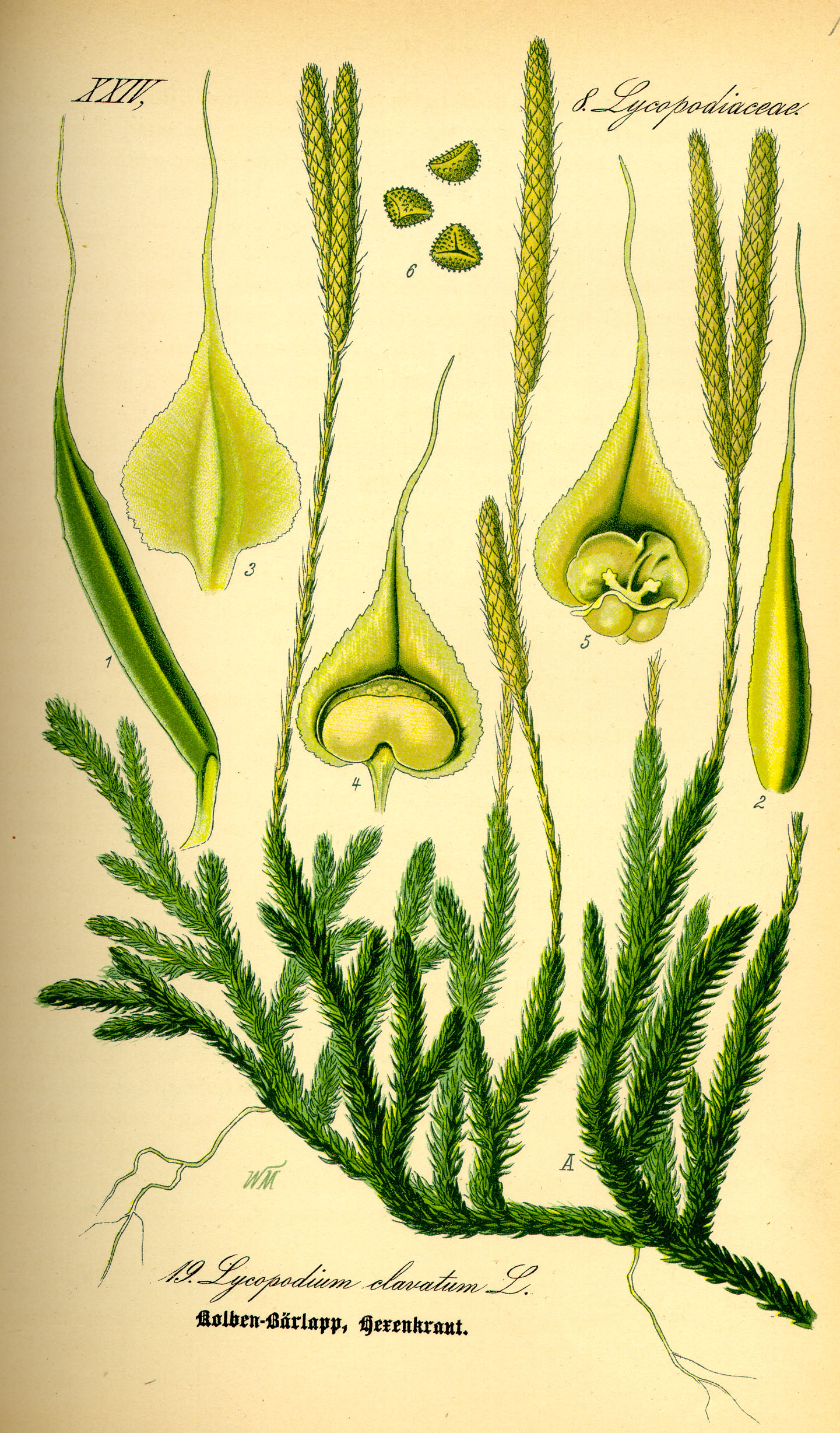 O. W. Thomé: Kolben-Bärlapp; in: Flora von Deutschland, Österreich und der Schweiz; bei Wikipedia Commons