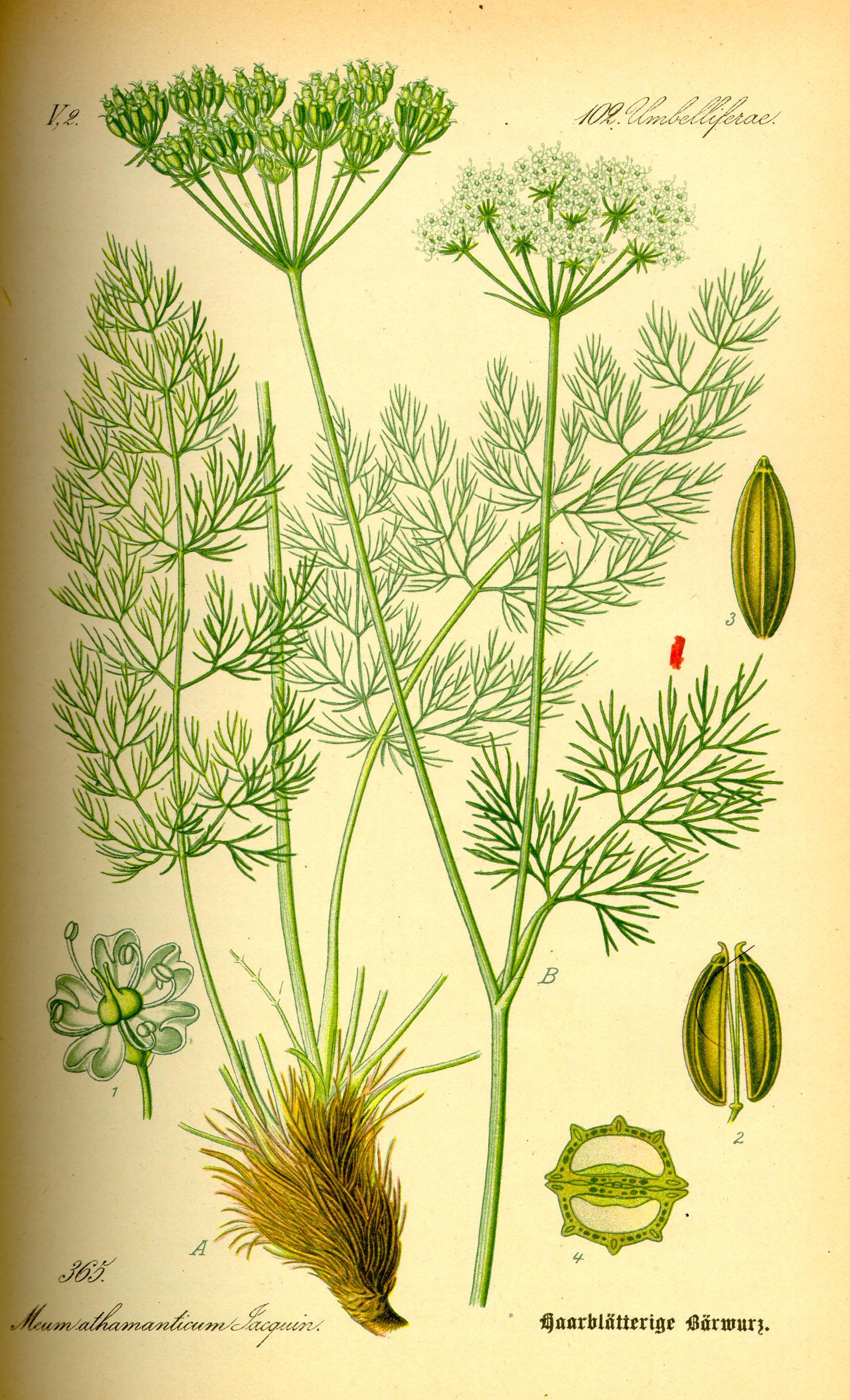 O. W. Thomé: Haarblätterige Bärwurz; in: Flora von Deutschland, Österreich und der Schweiz; bei Wikipedia Commons