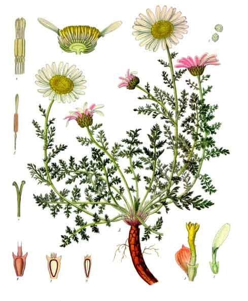 F. E. Köhler, Köhlers Medizinal-Pflanzen; bei Wikipedia Commons – Römischer Bertram