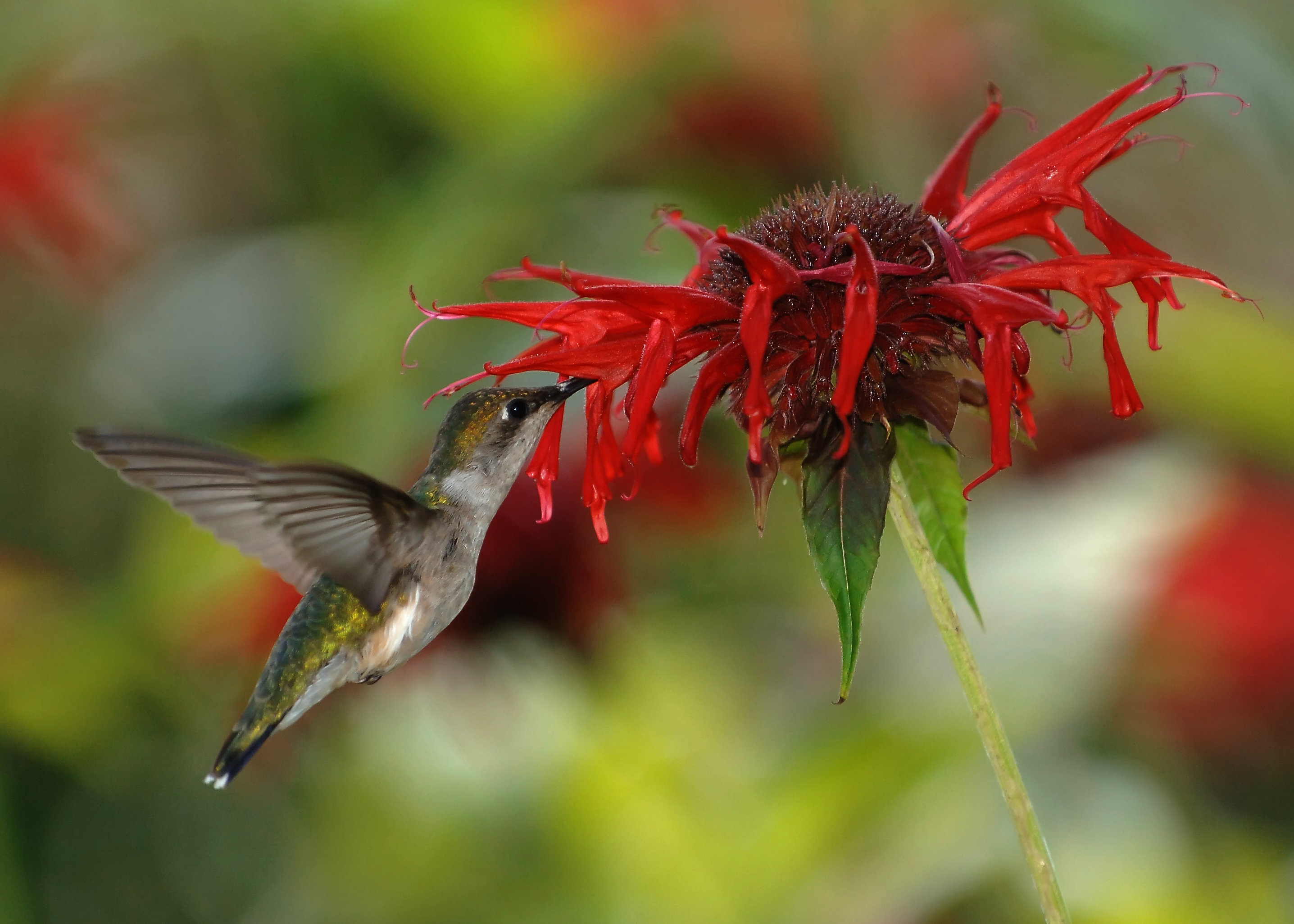 Joe Schneid, CC (Wikipedia Commons) – Nektar saugender Kolibri