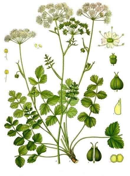 F. E. Köhler, Kleine Bibernelle; in: Köhlers Medizinal-Pflanzen; bei Wikipedia Commons