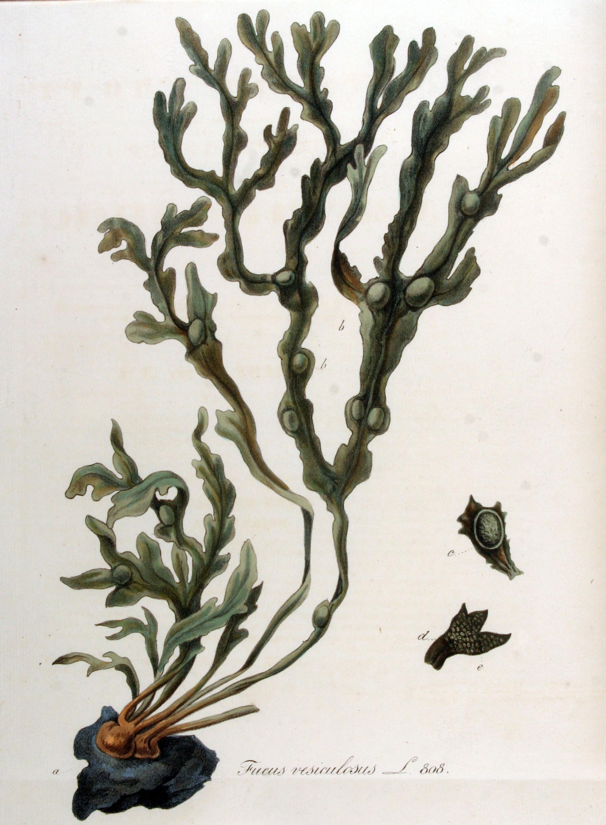 J. Kops, C. Sepp, Fucus vesiculosus; in: Flora Batava of Afbeelding en Beschrijving van Nederlandsche Gewassen; bei Wikipedia Commons