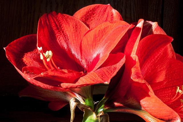 Amaryllis zum Valentinstag