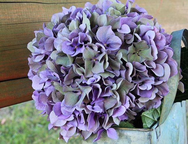 Bild Kübelpflanze Hortensie