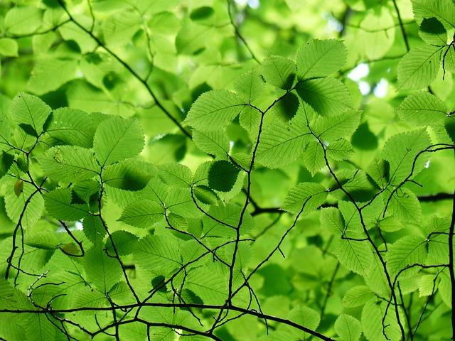 heckenpflanze hainbuche - Heckenpflanzen