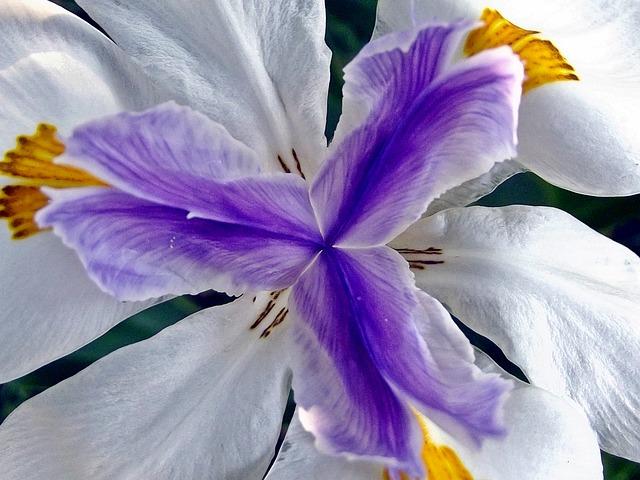 Iris zum Valentinstag