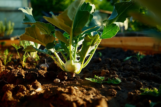 Bild Kohlrabi im Garten anbauen