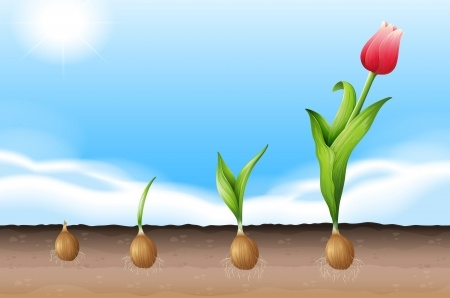 wachsende Tulpe