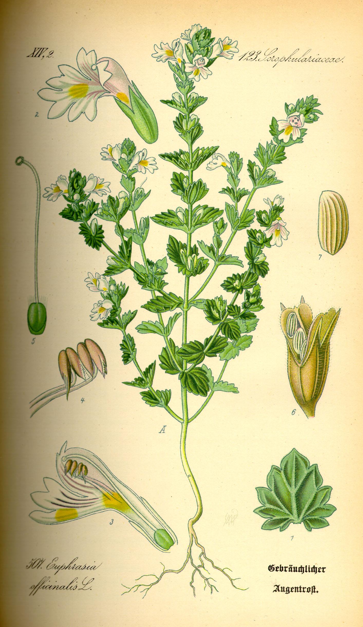 O. W. Thomé: Euphrasia officinalis, in: Flora von Deutschland, Österreich und der Schweiz; bei Wikipedia Commons
