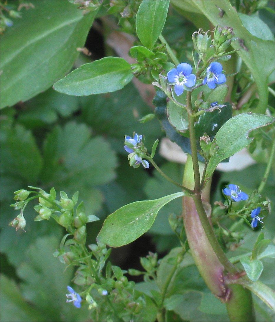 Rasbak, GNU (Wikipedia Commons) – Laub, Blüten, links grüne Fruchtstände