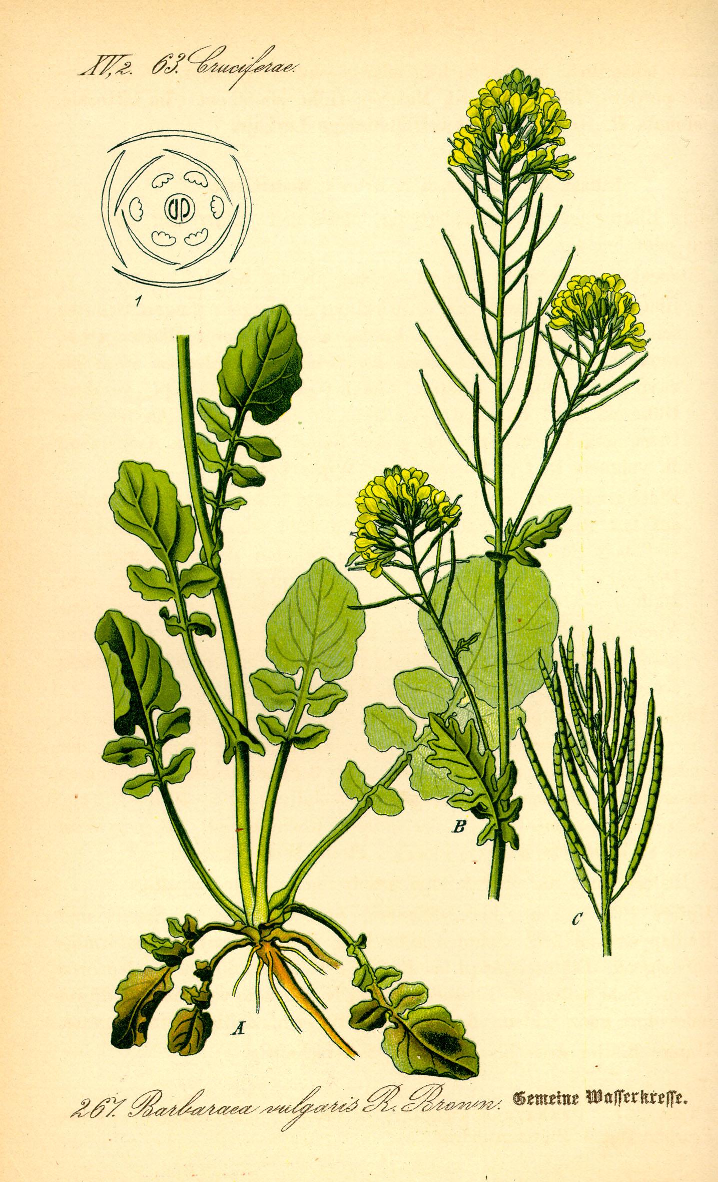 O. W. Thomé: Gemeine Wasserkresse; in: Flora von Deutschland, Österreich und der Schweiz; bei Wikipedia Commons
