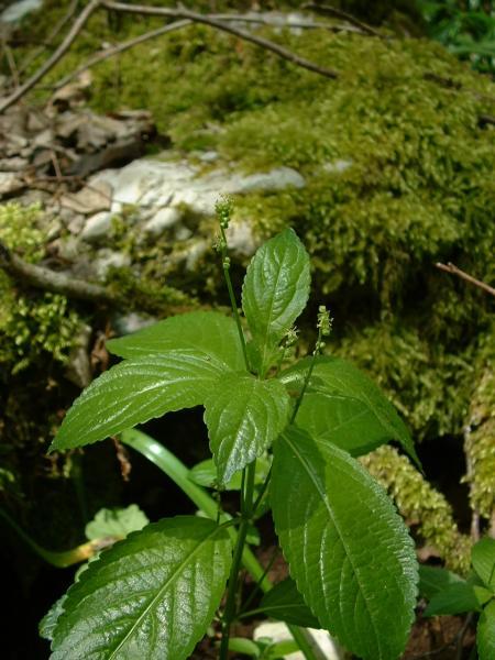 J. F. Gaffard, GNU (Wikipedia Commons) – Habitus, Wald-Bingelkraut, männliche Pflanze