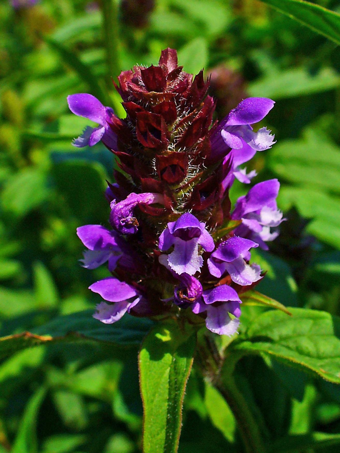 H. Zell, GNU (Wikipedia Commons) – Kleine Braunelle, Blütenstand