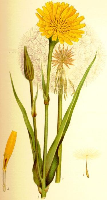 C. A. M. Lindman, Tragopogon pratensis; in: Bilder ur Nordens Flora; bei Wikipedia Commons
