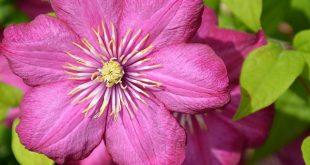 Pinke Clematis