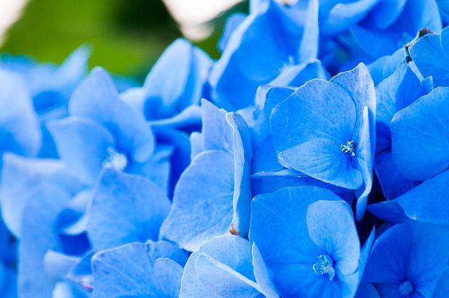 Horstensie blau