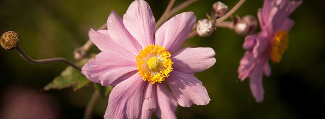 Japan Herbst Anemone Gartenmagazine De