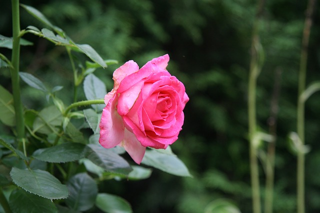 Rosen im Herbst einpflanzen