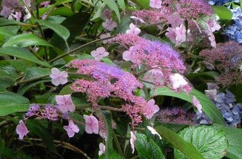 Samthortensie (Hydrangea aspera)