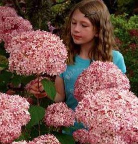 Schneeballhortensie (Hydrangea arborenscens)