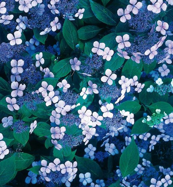 Tellerhortensie (Hydrangea serrata)