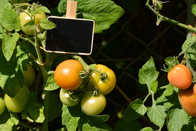 Bild Tomatenanbau