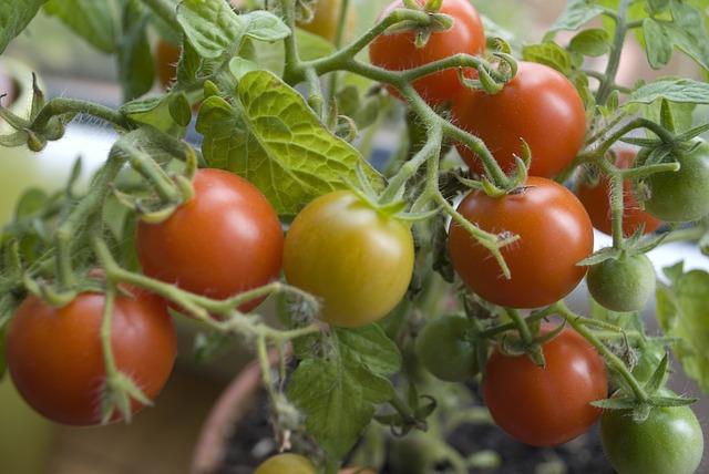 Tomatenpflanzen fürs Hochbeet