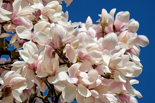 Bild Tulpen-Magnolie