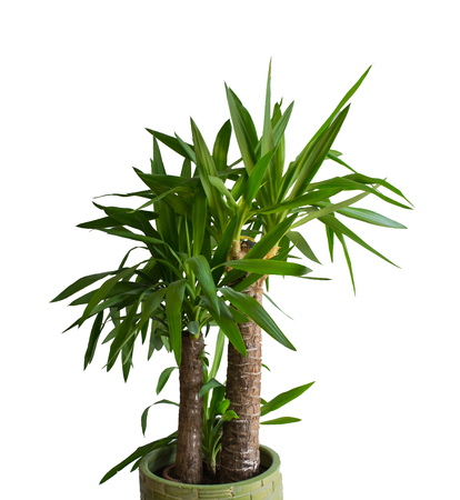 Worauf ist beim palmen kauf zu achten - Zimmerpalme arten ...