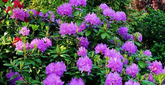 Bekannt Rhododendron durch Ableger vermehren - so einfach geht's YR82