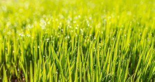Bild grüner Rasen