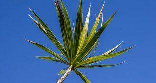 Bild Drachenbaum
