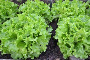Bild Salat