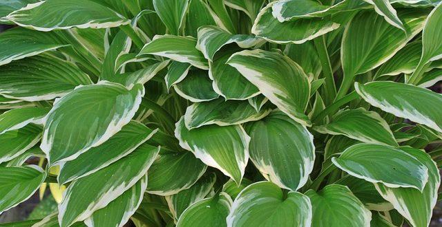 Bild Schattenpflanze