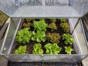 Gewächshäuschen Salat