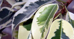 Bild Ficus