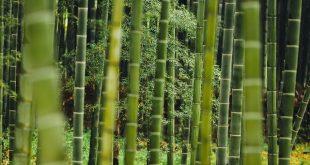 Bild Bambus