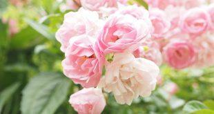 rosa Rosenstrauch