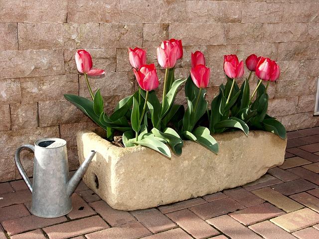 Tulpen in Blumenkästen
