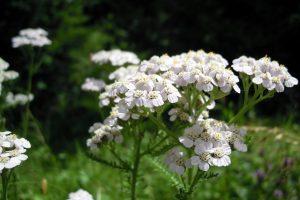 Bild weiße Schafgarbe